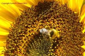 A pollen shower